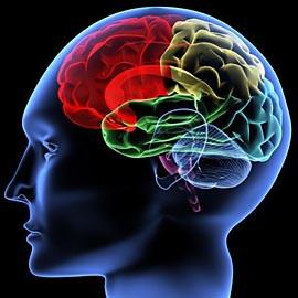 За каждый язык отвечает своя часть мозга